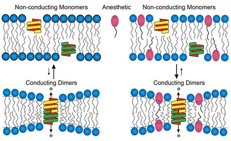 study offers  clue   anesthesia works