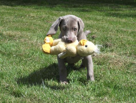 how to your to retrieve ducks retrieve definition what is