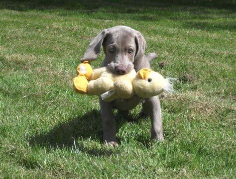 how to a to retrieve ducks home www weimaranersryanstock co uk