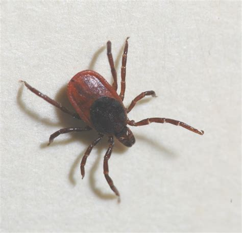 Ticks In Backyard by Out For Ticks During April Yard And Garden News
