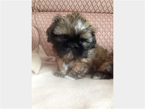 adorable shih tzu puppies home adorable shih tzu puppies bury greater manchester pets4homes