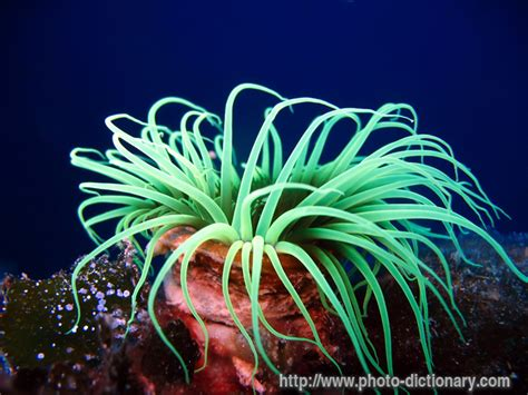 anemone dictionary anemone photo picture definition at photo dictionary