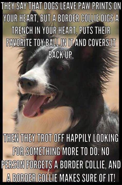 Border Collie Meme - 1000 images about border collies on pinterest sheep