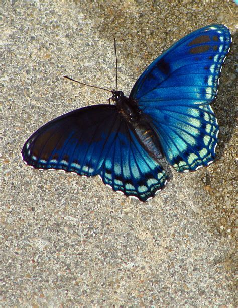 official state butterfly of arkansas the urban wildlife
