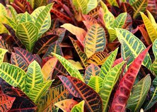 yuk mengenal aneka nama tanaman hias  gambarnya