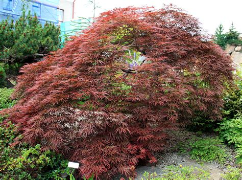 i plant a maple tree types of maple trees best trees to plant