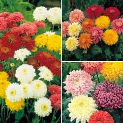 Chrysanthemum by Romantic Flowers Chrysanthemum Flowers