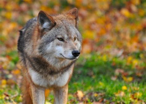 brown wolf  stock photo