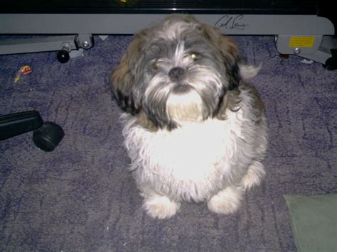 Small Dogs Home Walsall Jackshit Puppies For Sale Half Half Shih