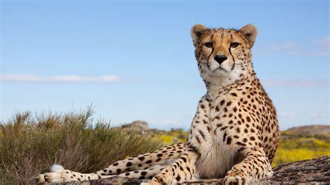 fondos de pantalla guepardo felino pose mirada