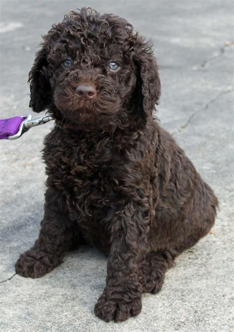 mini chocolate doodle miniature chocolate australian labradoodle www pixshark