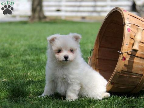 malti pom puppies for sale maltipom puppies for sale in pa dogs filhotes de cachorro