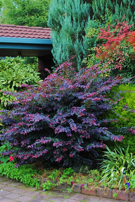loropetalum purple prince the color on this shrub can add