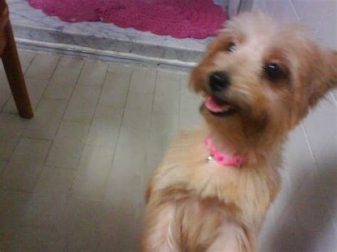 pomeranian x terrier you seen this missing pomeranian x silky terrier lost at blk 413 jurong west