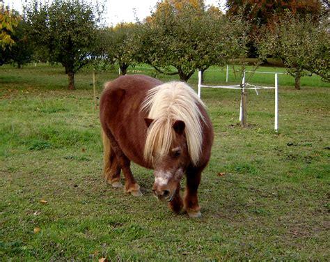 pony at livestock breeds at a m studyblue