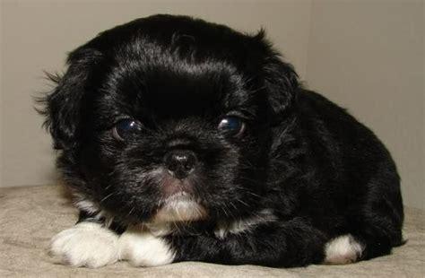 pug cross breeds list american eskimo cross shar pei breeds picture