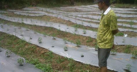 Benih Cabe Tanjung bp3k kecamatan mendahara ulu budidaya cabai dengan mulsa