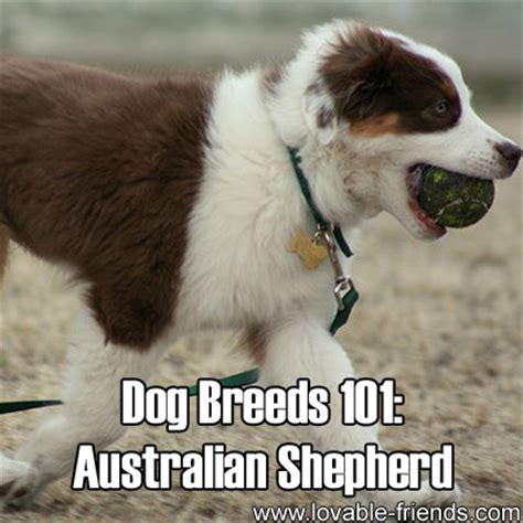 australian shepherd dogs 101 breeds 101 australian shepherd lovable friends