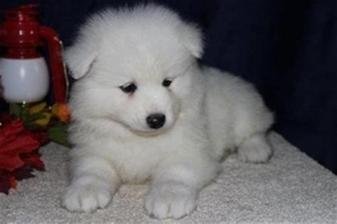 samoyed puppy for sale view ad samoyed puppy for sale illinois kenilworth usa