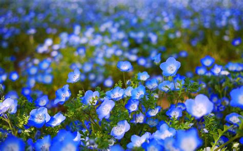 Blue Flower Hd Wallpapers Blue Flower