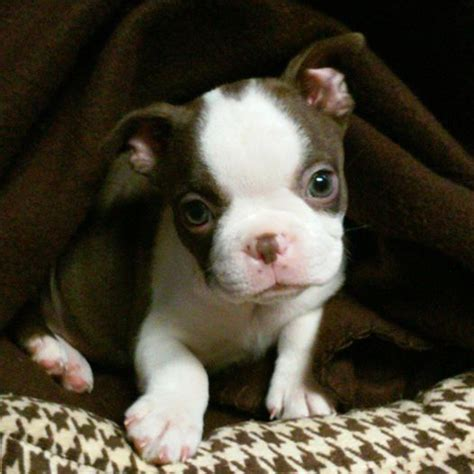 boston terrier puppies louisiana best 25 baby boston terriers ideas on boston terrier puppies boston