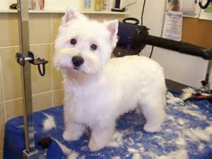 images of westie hair cuts i like this one because she still has plenty of hair but