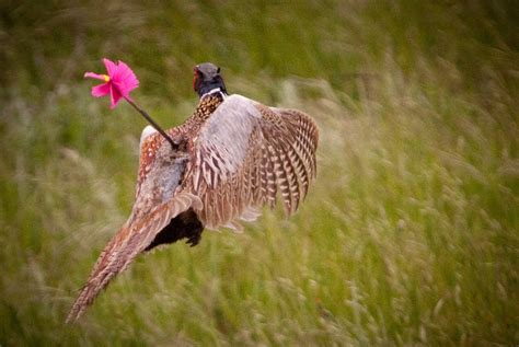 how to a to hunt how to hunt pheasant with a bow