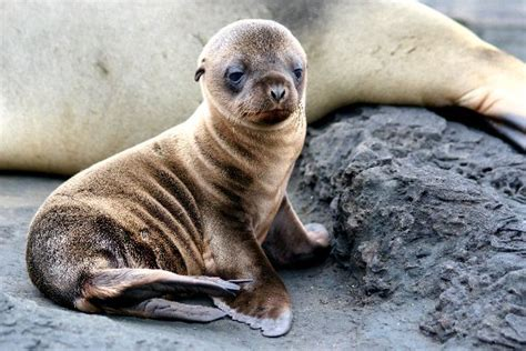 sea puppy sea puppy in galapagos islands sea facts and information