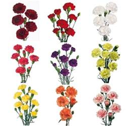 carnation colors mixed solid colors mini carnation flowers