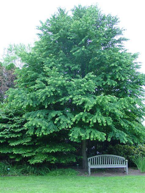 Katsura Garden katsura tree comes home to america what grows there hugh conlon horticulturalist