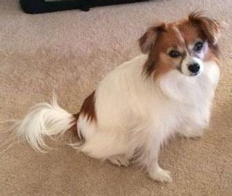 papillion tail how long to keep hair papillon dog breed information and pictures
