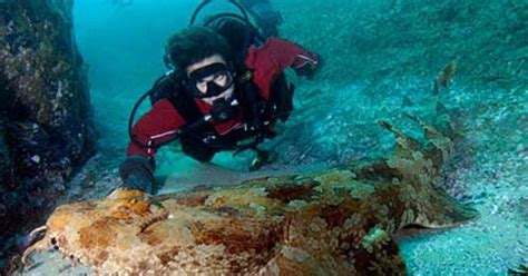squalo tappeto amici in allegria squalo tappeto orectolobus maculatus