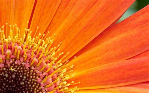 wallpapers for desktop background flowers orange flower hd wallpapers