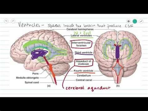 Detoxing The Csf by 25 Best Ideas About Dura Mater On Human Brain