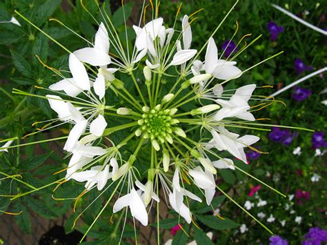 spider flower fast facts garden guides