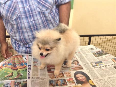 pomeranian names indian pomeranian puppies for sale yousuf khaja 1 16309 dogs for sale price of puppies