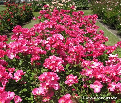 bett rosa plantfiles pictures floribunda betty prior rosa
