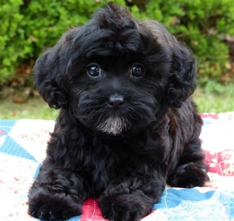 shih tzu cross poodle puppies shih poo shih tzu poodle puppies 2 males 1 for sale in el co