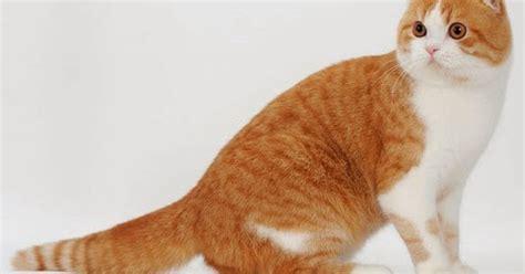 Boneka Kucing Ucing kucing scottish fold kucing
