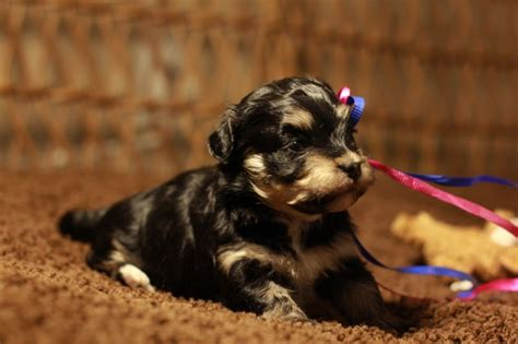 names for havanese dogs puppy names for brindle colored dogs breeds picture