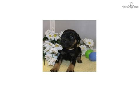 rottweiler puppies for sale in charleston wv carlin pinscher puppies for sale breeds picture