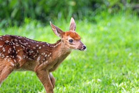 saves baby saves baby deer from drowning on time