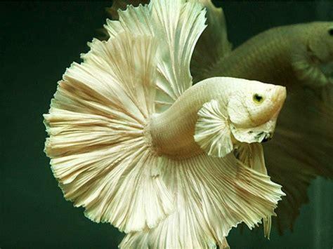 Makanan Ikan Hias Kecil gambar kumpulan aneka ikan cupang hias tercantik