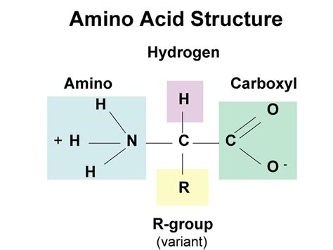 a protein is a linear polymer composed of proteins and amino acids discovery of the unicist