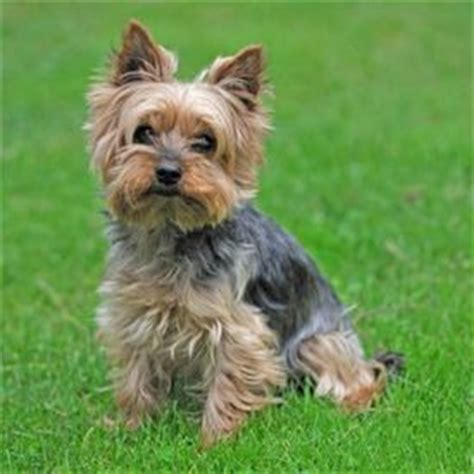 where can i get a yorkie puppy best 10 terriers ideas on terrier