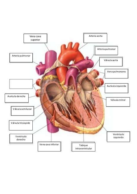 Asombroso Ovejas Hoja De Trabajo De Disección Del Corazón ...