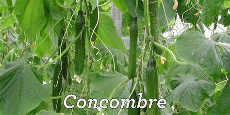 cuisiner les concombres je cuisine mon potager un site pour mieux connaitre les