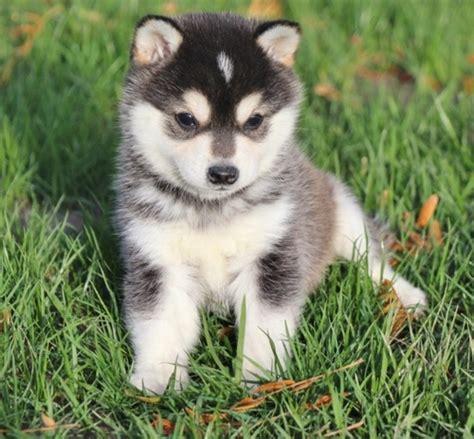 alaskan klee puppies for sale alaskan klee puppies for sale