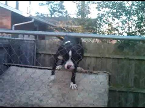 pitbull dog houses pitbull climbs gate to get on top of dog house youtube