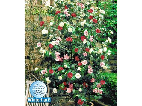 Lidl Garten Pflanzen by Winterharte Garten Kamelie Tricolor 1 Pflanze Camellia